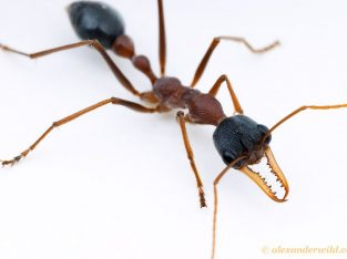 Myrmecia Nigriceps Queen
