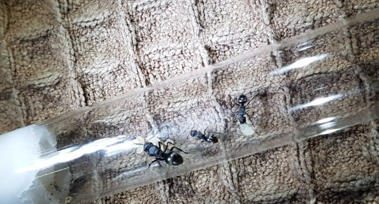 Polyrhachis cf hexacantha with workers (Silver and black)