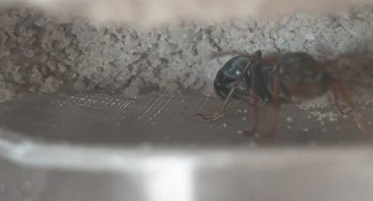 Jumping Jack Bull Ant Queen with 1 to 3 workers