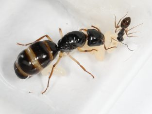 Camponotus Claripes/Elegans/Lownei with 1-4 workers