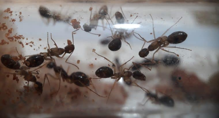 Camponotus lownei colony with 12 workers