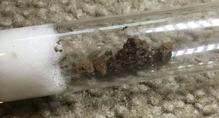 1 queen crematogaster colony cheep