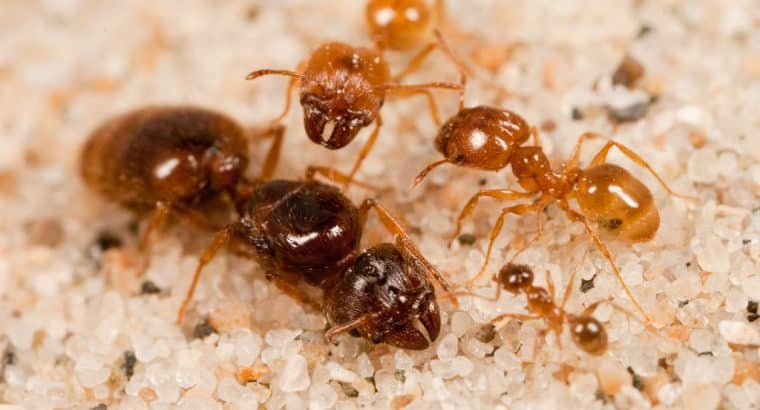 looking for large pheidole