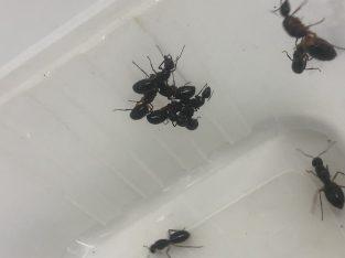 Black Camponotus Lownei