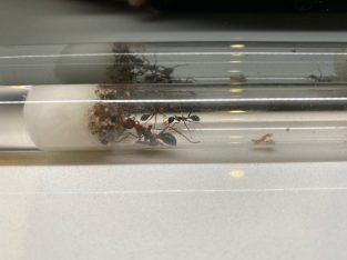 Myrmecia nigrocincta colony (3 workers)