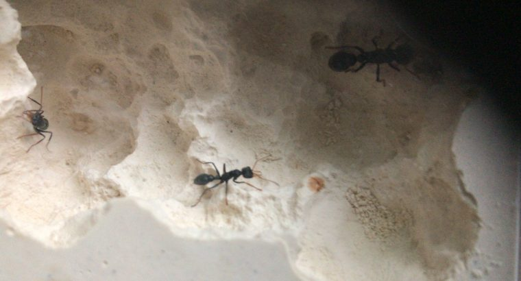 2 worker jack jumper colony with eggs and brood