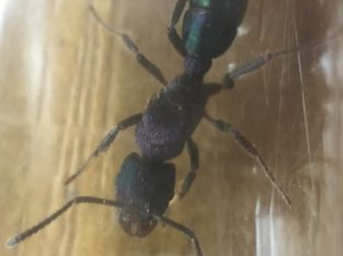 Green headed ant queens (Rhytidoponera metallica)