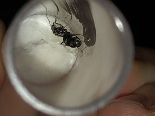 Single iridomomyrmex bickinelli Queens! With a big egg pile each. *cheap* great beginner species