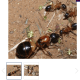 Queen Camponotus Consobrinus for sale