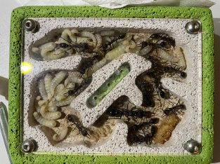 Mature Giant Bull Ant Colony for sale (25 adults)