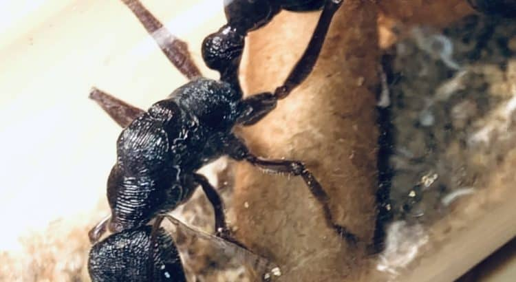 Myrmecia Forficata Bull Ant Queens with eggs for sale! $150