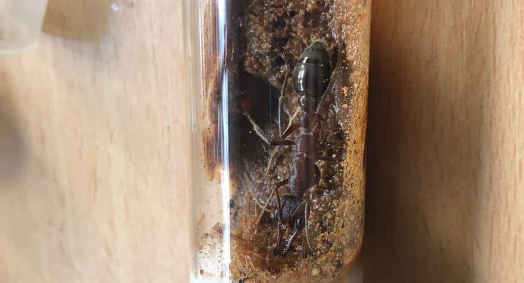 Massive Myrmecia Forficata queens! Up to 3cm! Only 2 left!! 160 each