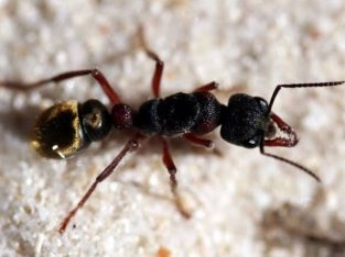 Myrmecia fulvipes queen for sale