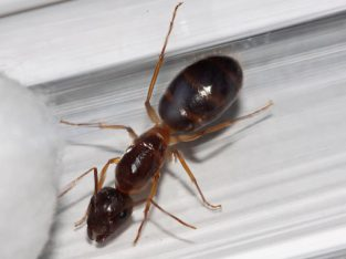 Camponotus humilior Queen With Eggs For Sale