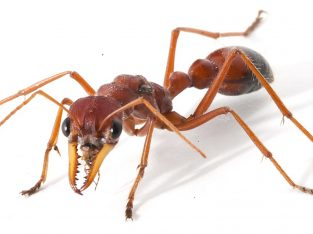 want to trade a 20 worker camponotus colony for a small bull ant colony