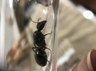 Camponotus intrepidus queens