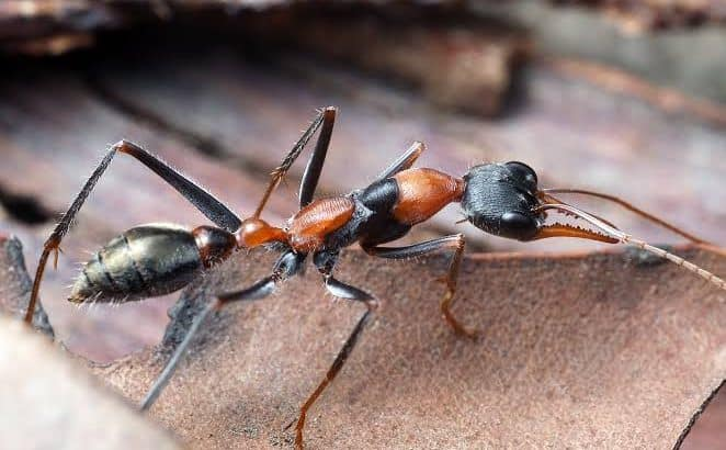 Myrmecia nigrocincta queens for sale. All have eggs. If you buy 1 $115 express posted or you can buy 5 or more at once for $80 each