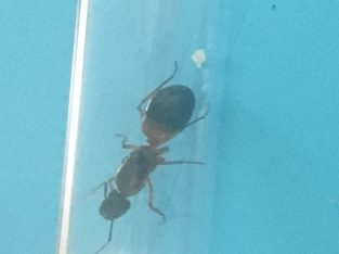 Camponotus Consobrinus Queen With eggs
