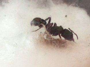 Rhytidoponera metallica Queen with larvae