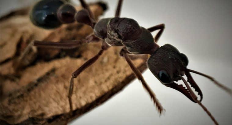 Australian Queen Ants Available Worldwide