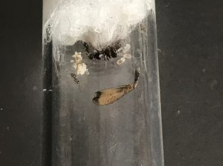 Iridomyrmex Bickinelli queens with lots of eggs and brood! *Cheap* Great beginner species!