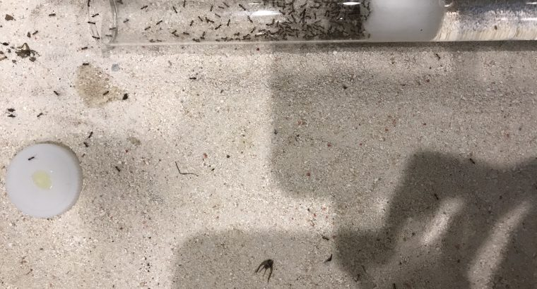 5 Queen and 300 Worker Argentine Ant/Linepithema humile colony