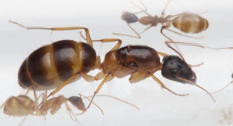 Camponotus humilior colonies