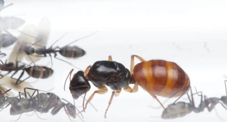 Camponotus colony