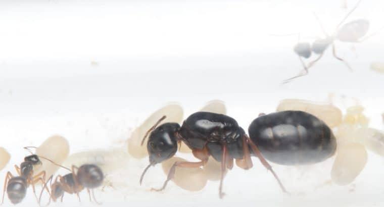 Camponous lownei colonies