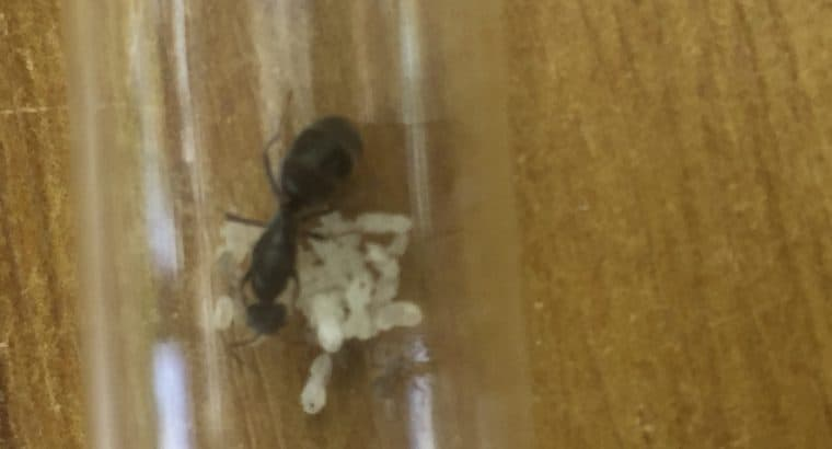 Iridomyrmex bicknelli queen with 2 – 20 workers CHEAP!