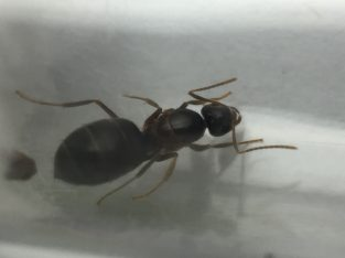 Prolasius sp. queens with brood SUPER CHEAP!