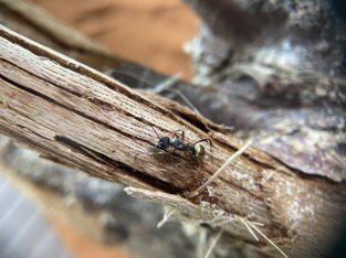 Polyrhachis Ornata