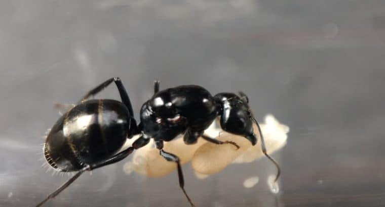 Camponotus aeneopilosus queens