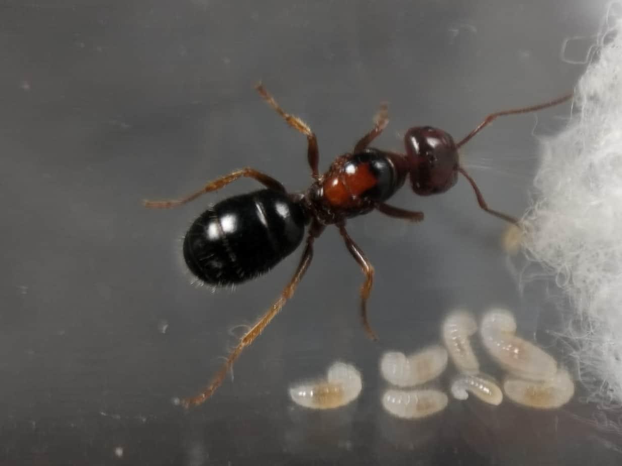 Melophorus sp. queen with brood