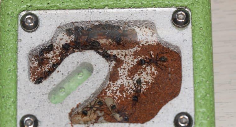 10+ Worker Myrmecia Nigrocincta Bull Ant Colony For Sale