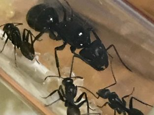 Camponotus with workers