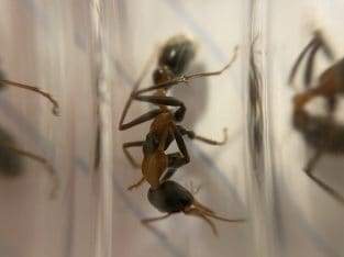 Myrmecia nigrocincta queen for sale