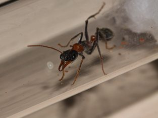 Myrmecia nigrocincta Queen With Eggs/Larvae For Sale (free postage)