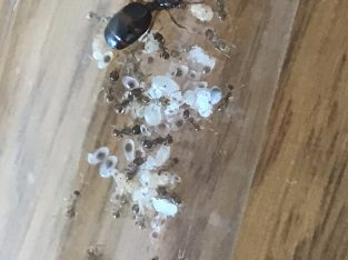 Pheidole Colony With 30+ Workers and 2 major workers