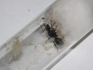 Polyrhachis phryne Queen For Sale