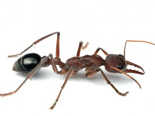 Huge Myrmecia Simillima Queen Ant