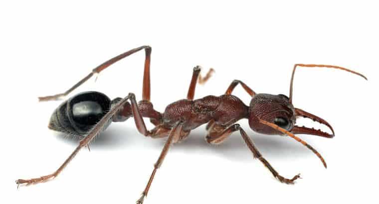 Huge Myrmecia Simillima Queen Ant