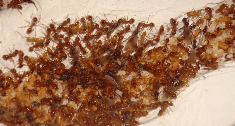 Large Pheidole colony ( 900 workers) ( 3 Queens)