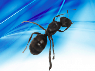 Unidentified Ant Queen! (Probably RARER Iridomyrmex sp.) ONLY $20 COULD BE WORTH ALOT MORE