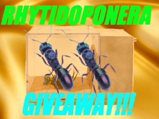 RHYTIDOPONERA METALLICA MEGA SALE + GIVEAWAY!!!! See Description For Details Only $25 A Queen!