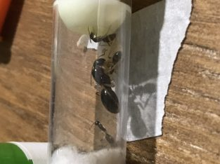 Camponotus Lownie SP