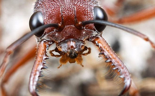 trading myrmecia queens with brood
