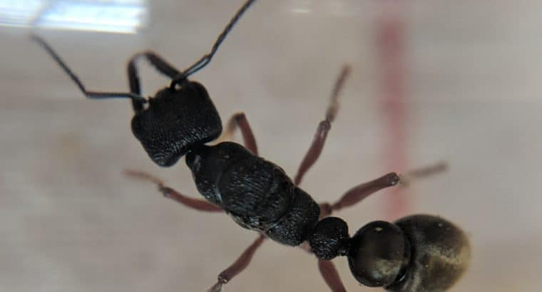 Myrmecia fulvipes queen for sale *** SOLD PENDING FERTILITY CONFIRMATION***