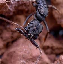 looking for Odontomachus queen in NSW.