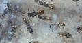 five queen tetramorium capitale colony